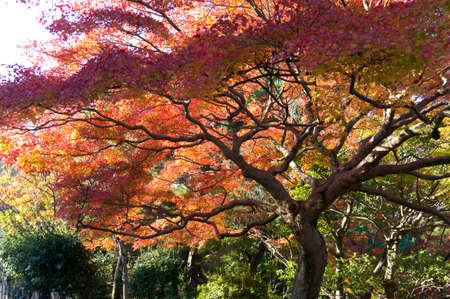 japanese fall foliage: Autumn colors in Kyoto, Japan Stock Photo