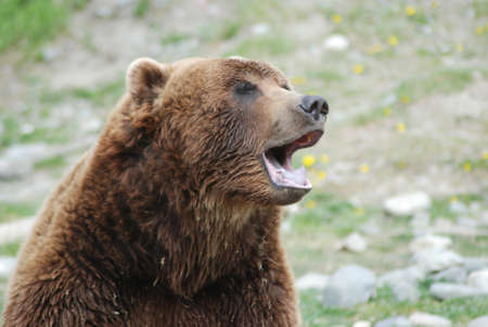 brown bear: Brown Bear - Alaska Stock Photo