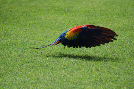 Scarlet Macaw Flying, Honduras photo