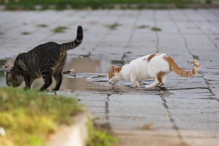 Homeless cat drinking water from puddle. Concept of homeless pets. Stock Photo
