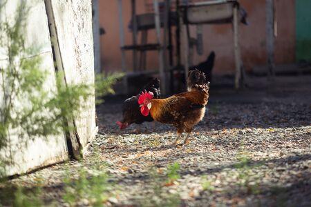 Cock in a farmyard, walking around. Countryside alarm clock. Stock fotó