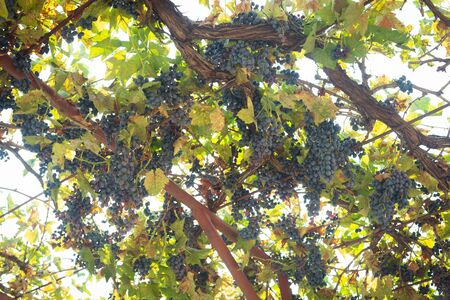 Grapevine with dark grape and green leaves. Fresh ingredients to make vine.