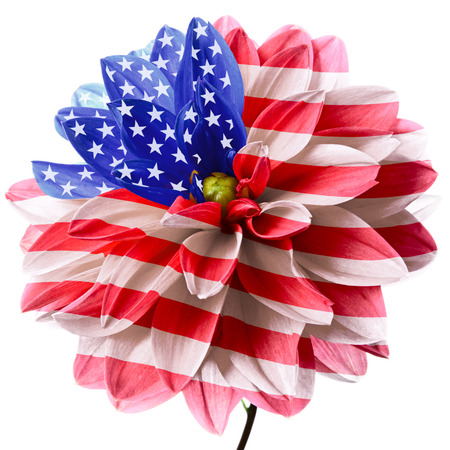 Flower of dahlia as flag of USA. Isolated on a white