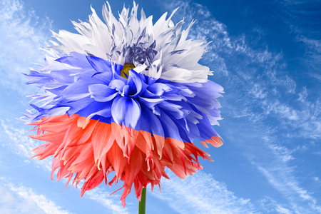 Flower of dahlia as flag of Russia on background of blue sky