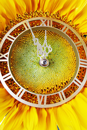 horologe: Sunflower-clock indicative approach of New Year Stock Photo