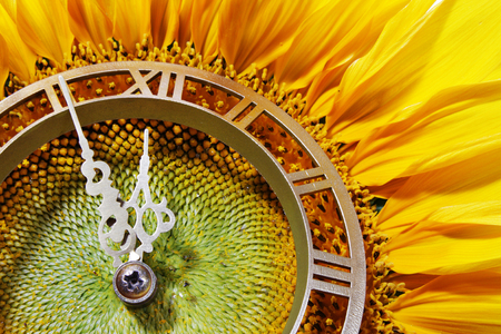 Sunflower-clock indicative on approach of noontime