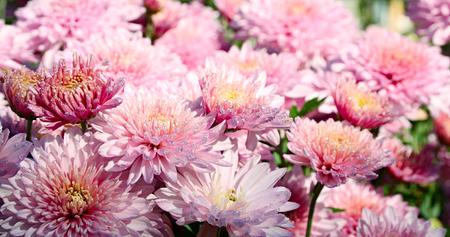garth: Chrysanthemums. Pink flowers in dew on a flowerbed