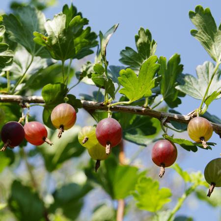 gooseberry bush: Spray of gooseberry mellow