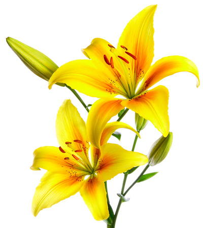 birthday flowers: Beautiful lilies on a white background Stock Photo