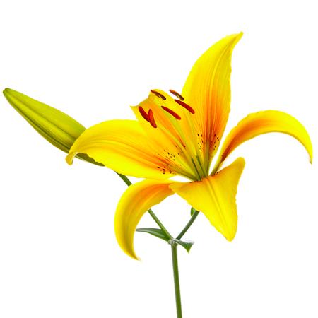 lemony: Beautiful yellow liliy on a white background Stock Photo
