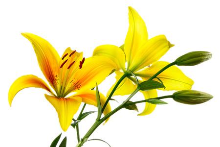 lemony: Yellow-orange lilies on a white background Stock Photo