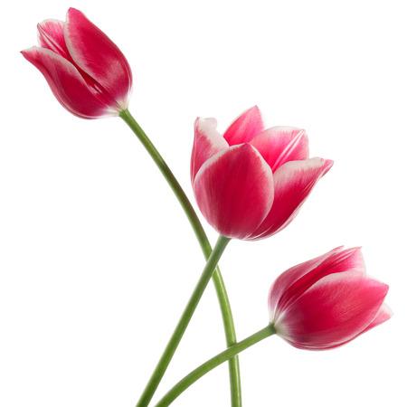 tulipan: Trzy drobne kwiaty samodzielnie na białym tle Zdjęcie Seryjne