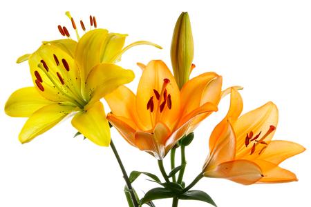 lemony: Beautiful yellow and orange flowers isolated on white