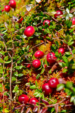 curative: Curative berries of a cranberry on a moss in a marsh Stock Photo