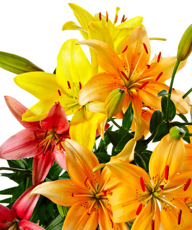 Flowers. Varicolored lilies isolated on white