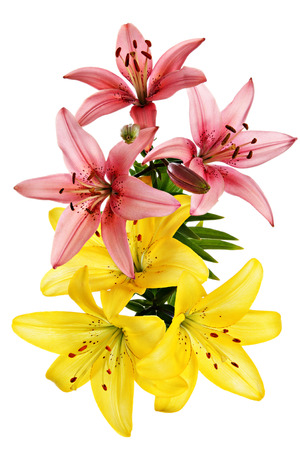 Lilies. Flowers card view isolated on a white background.