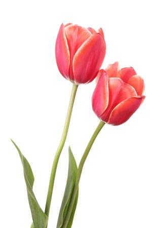 흰 배경에 고립 된 두 튤립 꽃 스톡 콘텐츠