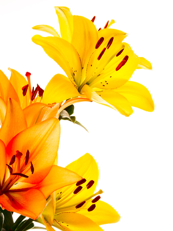 Yellow and orange lilies on a white background photo