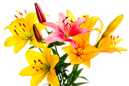 lemony: Multi-coloured lilies on a white background Stock Photo
