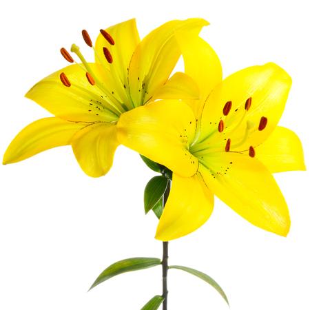 lemony: Yellow lilies on a white background Stock Photo