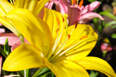 lemony: Yellow lily close up in a flowerbed