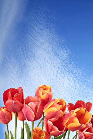 blue tulip: Beauty in nature. Beautiful tulip flowers on a background of blue sky. Stock Photo