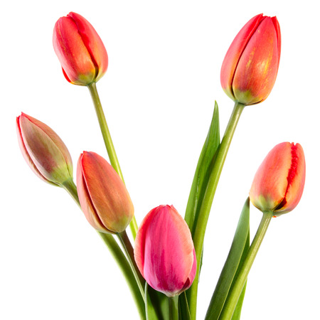 Tulip Fully Opened Stock Photos, Images, & Pictures – (18 Images)
