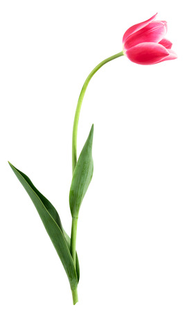 Single pink flower on a white background. Clipping path