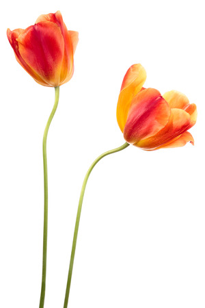Two red-yellow tulips. Flowers on a white background