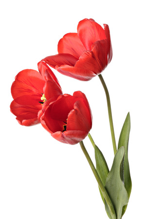 Three red tulip flowers isolated on a white background
