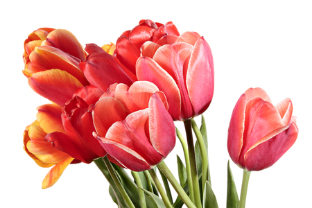 Flowers. Tulip isolated on a white background. photo