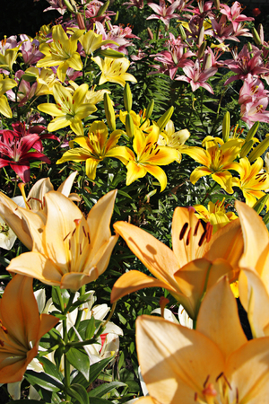 lemony: Lilys multicolored on garden bed Stock Photo