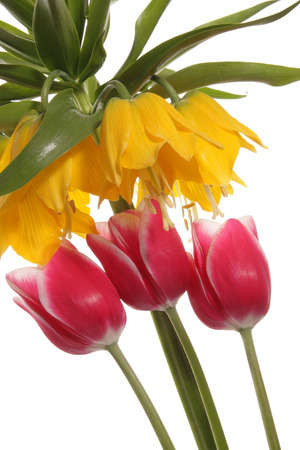 magnetism: Abstract. Magnetism between Fritillaria imperialis and tulips. Flowers on a white background Stock Photo