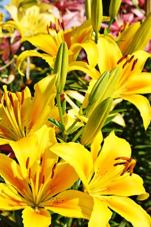 lemony: Lily on flower bed Stock Photo