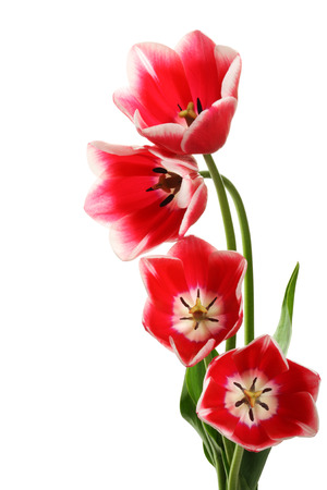 tulip flower: Four beautiful tulips on a white background.