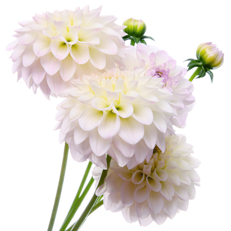 Beautiful bouquet of dahlias on a white background