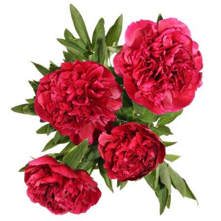 Peonies. Card view of flowers isolated on a white background