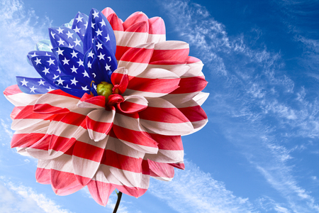 Dahlia as flag of USA on background of blue sky