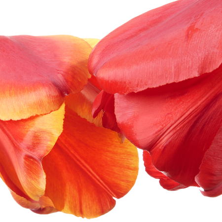 Valentine concept. Closeup flowers isolated on a white background. Shallow DOF photo