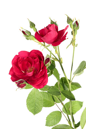 Flowers of red climbing rose isolated on a white background