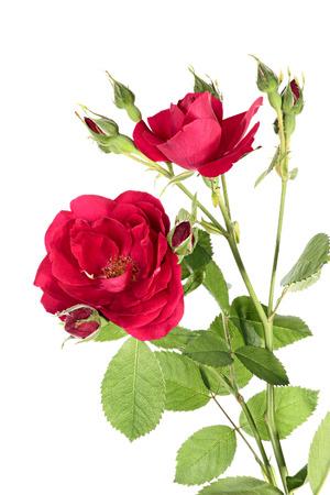 rosas rojas: Flores de la escalada rosa roja aislado en un fondo blanco