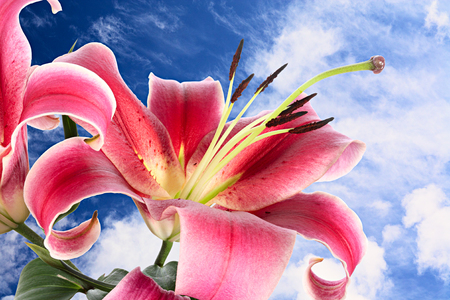 bottomless: Grand pink flowers of lily on background of bottomless summer sky