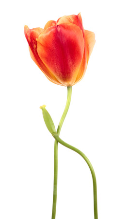 Tulips. Bloomy and deflorate flowers isolated on white photo