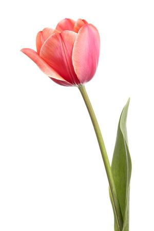흰색 배경에 고립 된 아름 다운 단일 핑크 튤립 꽃 스톡 콘텐츠
