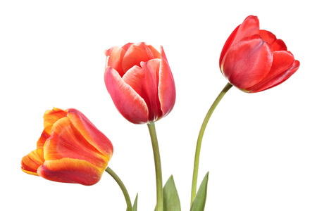 Tulips. Three flowers of different color isolated on a white background Standard-Bild