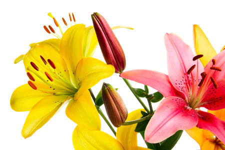 lemony: Yellow and pink lilies on a white background