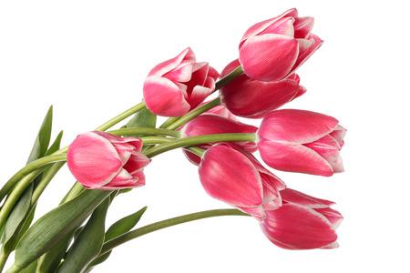 tulips isolated on white background: Tulips. Pink flowers isolated on a white background.