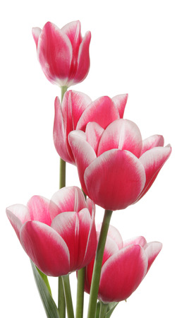 Five tulips on a white background 版權商用圖片