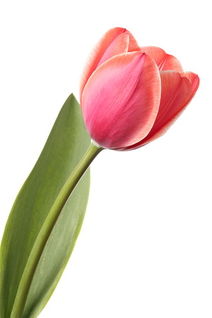 Tulips. Single pink flower isolated on a white background