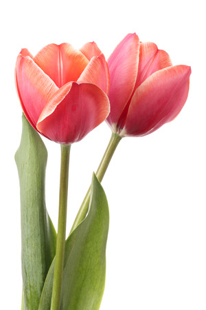 tulips isolated on white background: Tulips. Two pink flowers isolated on a white background